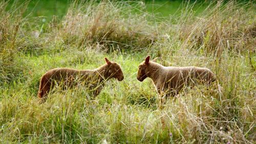 Moutons et agneaux sur l'île de Bohan