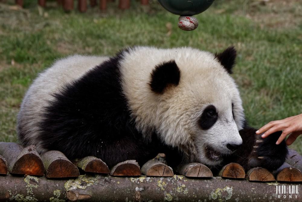 Tian Bao sur la balançoire (part.1)