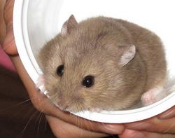 choisir son hamster