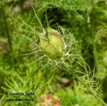 Photo de fruit de cumin noir - Nigella sativa
