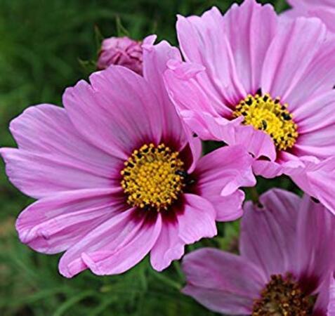 Fête à la Roseraie J - 2 : La Curiosité Fleurie (annuelles, Pelargonium de collection...)