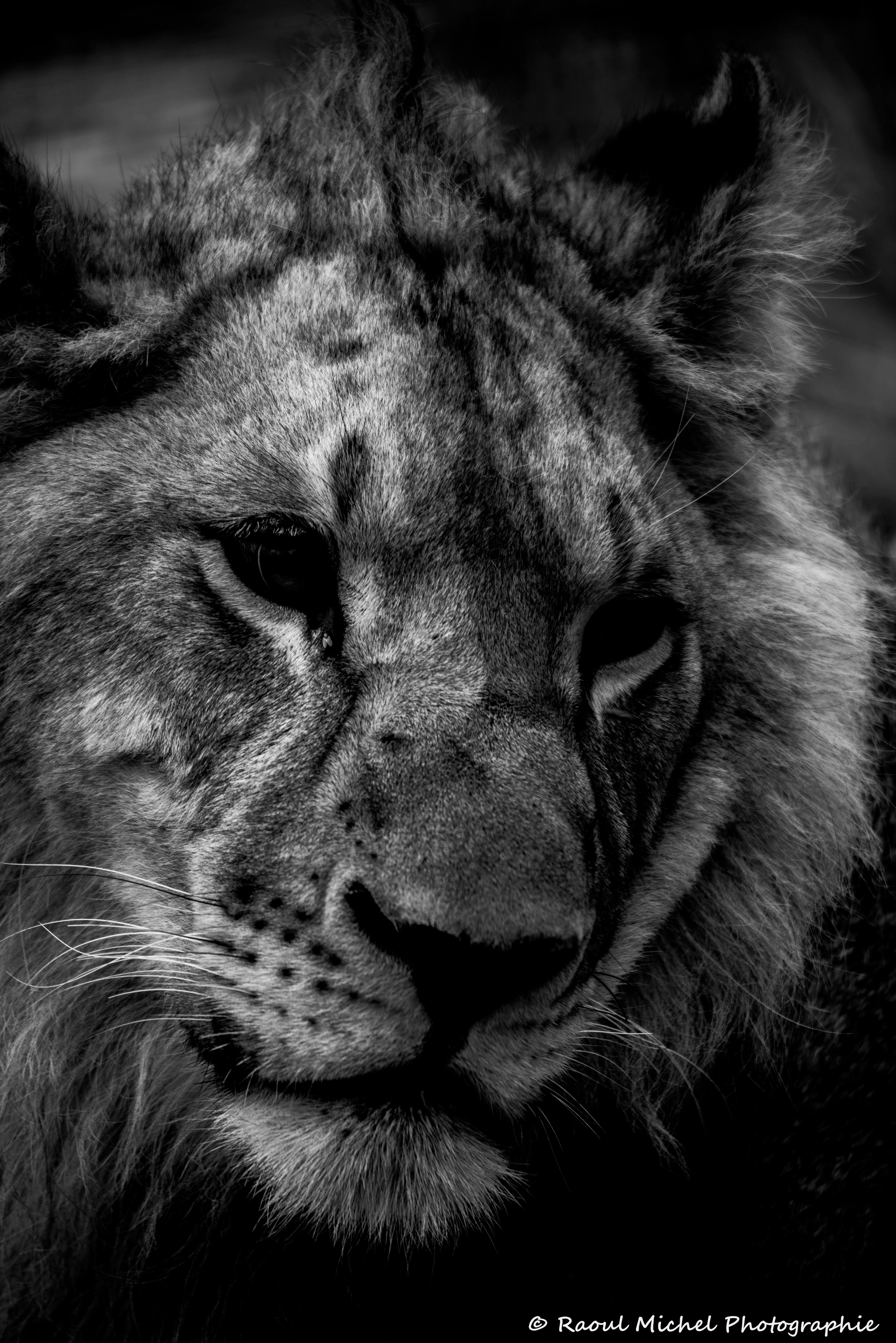 lion en couleur ou noir et blanc