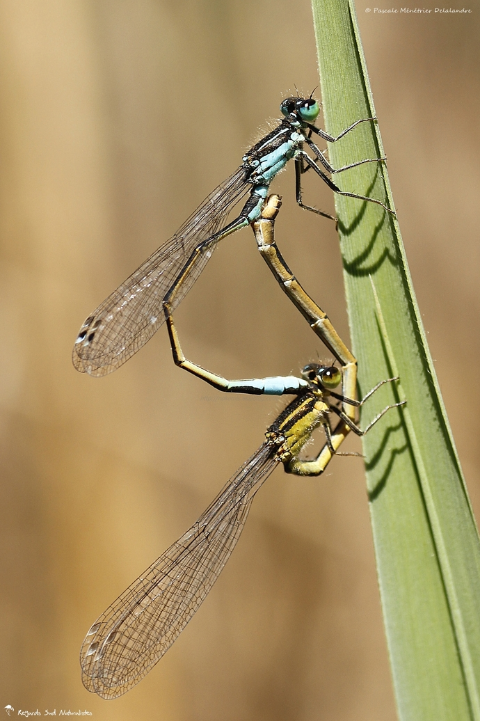 Ischnures élégantes (Ischnura elegans) : ♂ mature et ♀ mature de type B