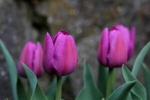 Tulipes Baby Blue2