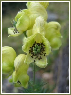 La flore des Pyrénées