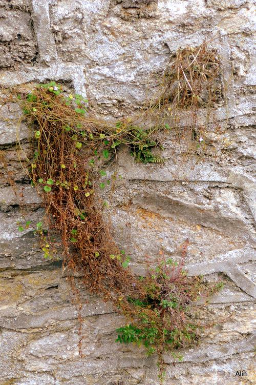 Mousses et herbes sur les murs