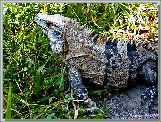 Blog de images-du-pays-des-ours : Images du Pays des Ours (et d'ailleurs ...), Iguane noir ou Cténosaure (Similis Ctenosaura) - Parc National Carara - Costa Rica