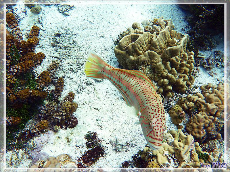 Girelle hublot, Surge wrasse (Thalassoma purpureum) femelle - Jardin de corail - Motu Tautau - Taha'a - Polynésie française