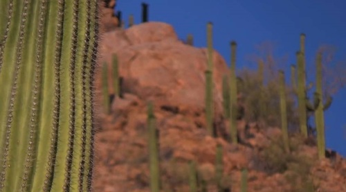 cactus dans l'arizona