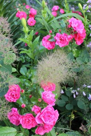 rosier fuchsia 'Emera' de Noack Werner et lys asiatiques oranges