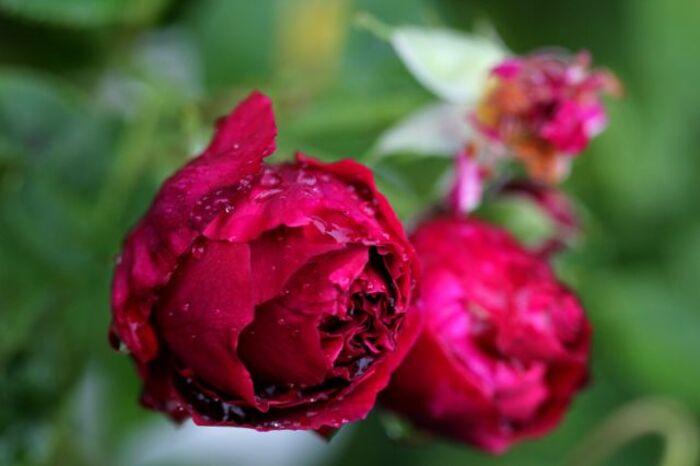 La Fête à la Roseraie - 2014 - (6/11)