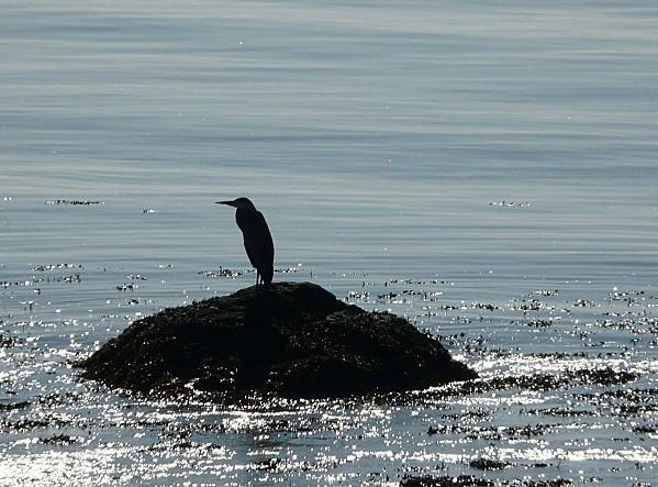 Heron--3-10-11-010.jpg