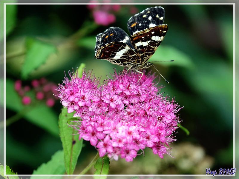 "Papillon Carte géographique, type estival ""prorsa"" (Araschnia levana) - Lartigau - Milhas - 31"