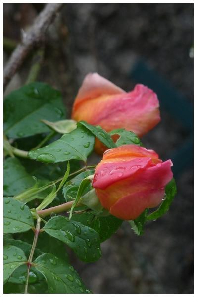 Le temps des roses .....