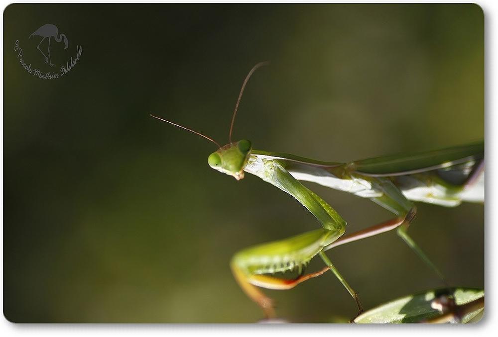 Mantis religiosa - Mante religieuse - forme verte...