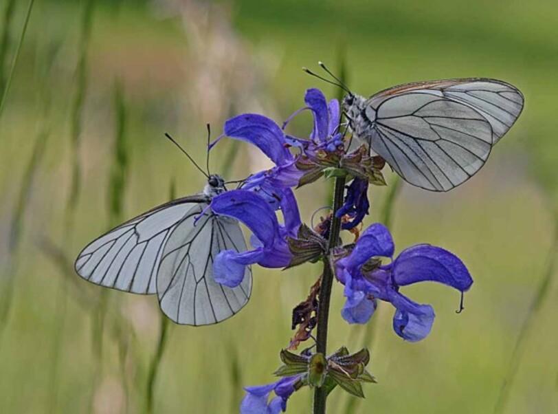 Insectes-papillons--4-4111_modifie-1.jpg