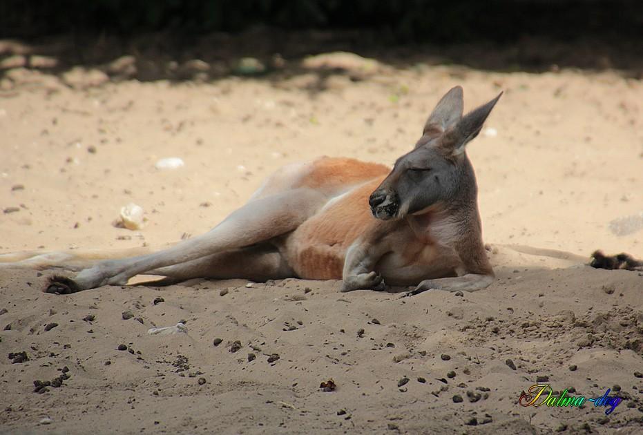 """kangourou """" la Palmyre"""""""