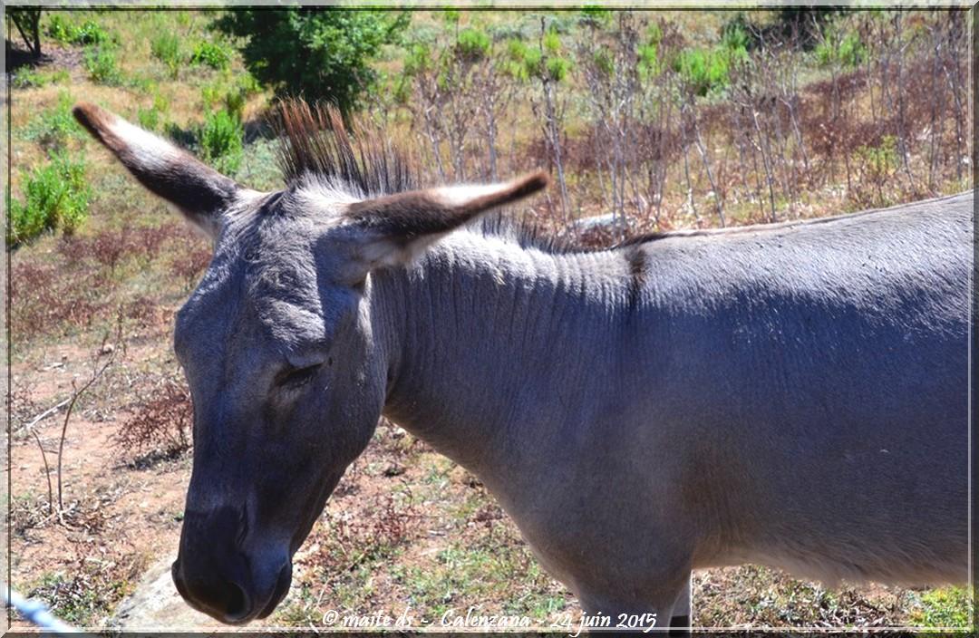 Mes amis les ânes de Calenzana - Corse