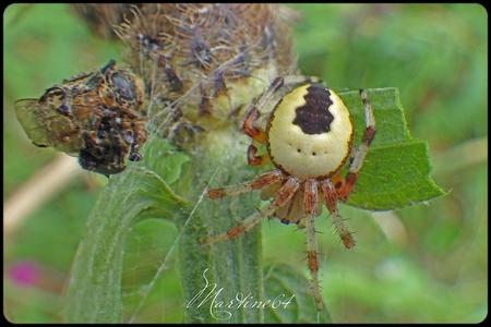 Araneus marmoreus pyramidalus