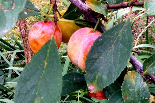 n05---Les-prunes.JPG