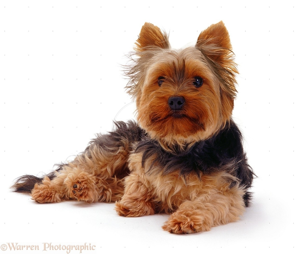 08150-Yorkshire-Terrier-white-background