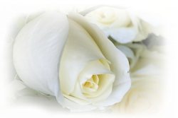 Fleurs lanches