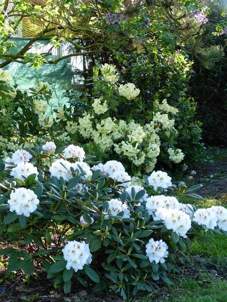 Rhododendron Porzellan