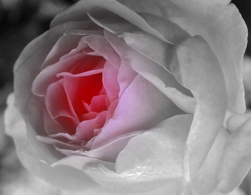 Belles Roses Blanches