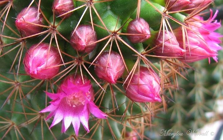 Mon vieux cactus fleurit