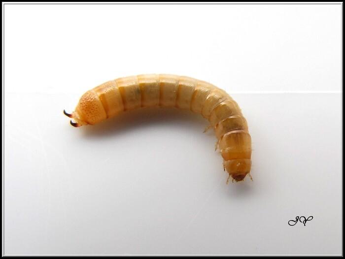 coléoptères à identifier.