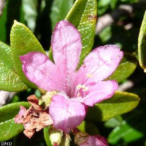 Rhododendron ferrugineum  -  rhododendron ferrugineux
