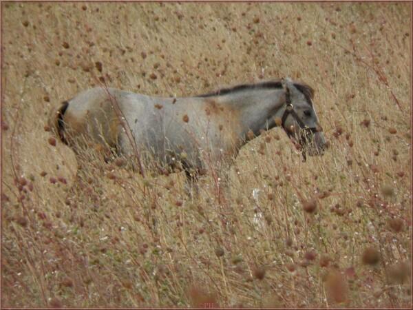 Chevaux dans la prairie sèche