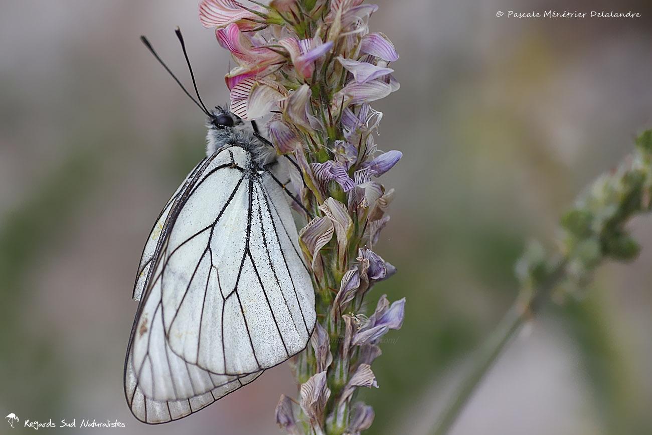 Le Gazé - Aporia crataegi  L. - Pieridae