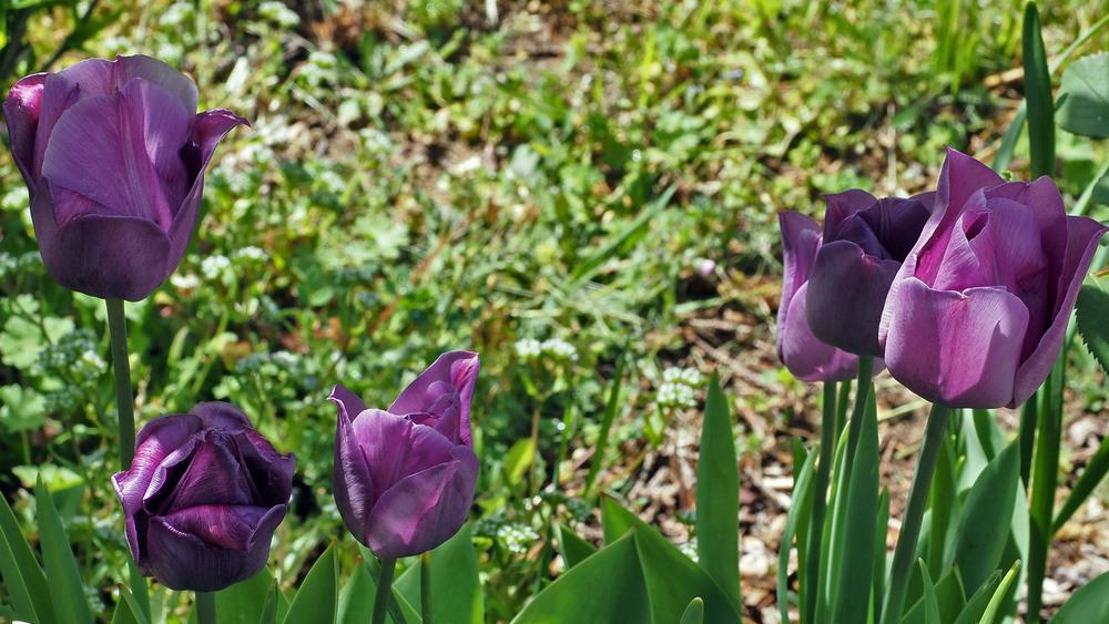 d'autres tulipes, en Sologne 27/9