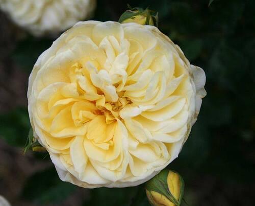 Les Roses de Warren : Summer Cheer