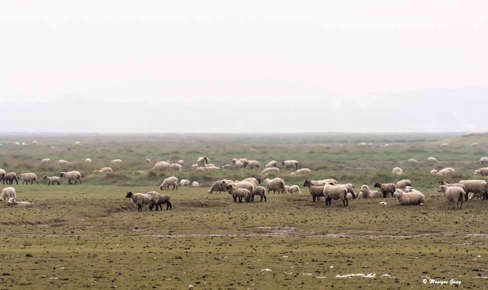 Moutons près de St Valery-sur-Somme