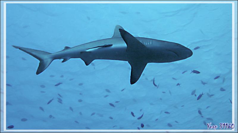 Une bien belle bête, le Requin gris  de récif, Grey reef shark (Carcharhinus amblyrhynchos) - Tumakohua (passe sud) - Atoll de Fakarava - Tuamotu - Polynésie française