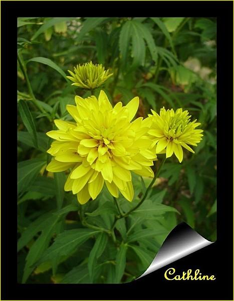 fleurs-heliopsis-copie-1.jpg