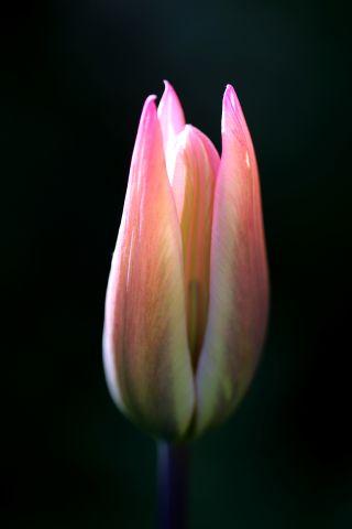 Tulipes 2020 : China Pink