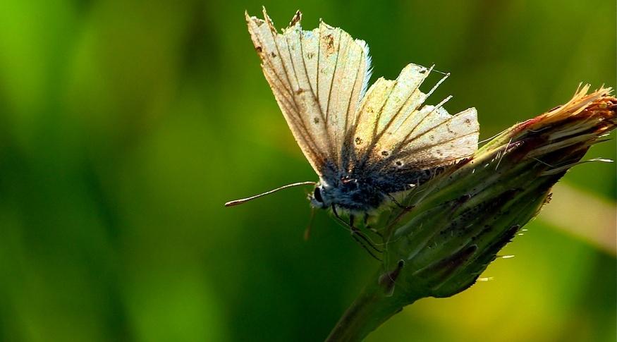 Les papillons de l'été (2) Les Lycaenidae