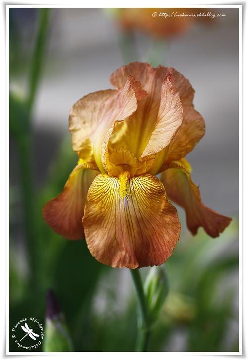 Iris Orangée
