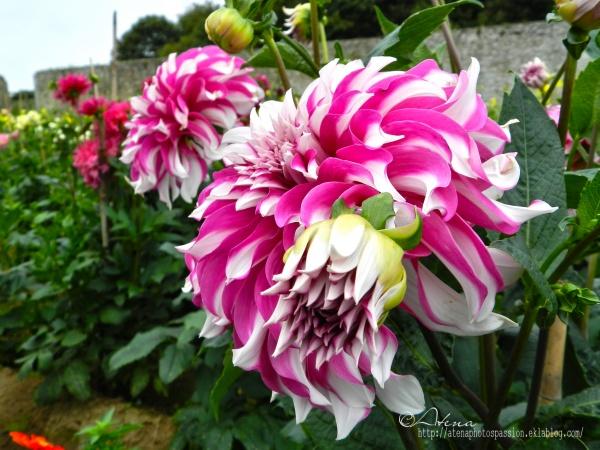 Dahlias du jardin du chateau de Flamanville