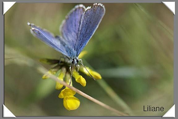 P83-Papillon
