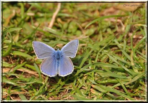 Polyommatus icarus (L'Argus bleu)