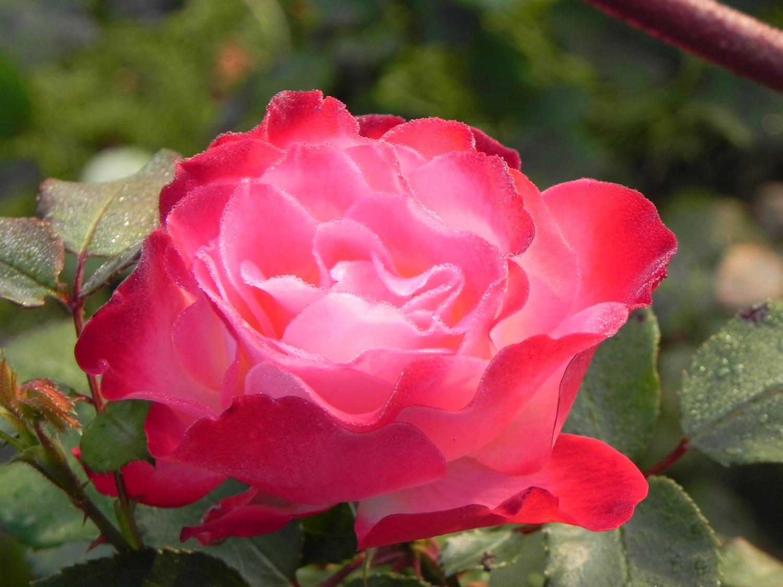 Insectes ravageurs et maladies des rosiers au nom de la rose - Rosier mange par des chenilles ...