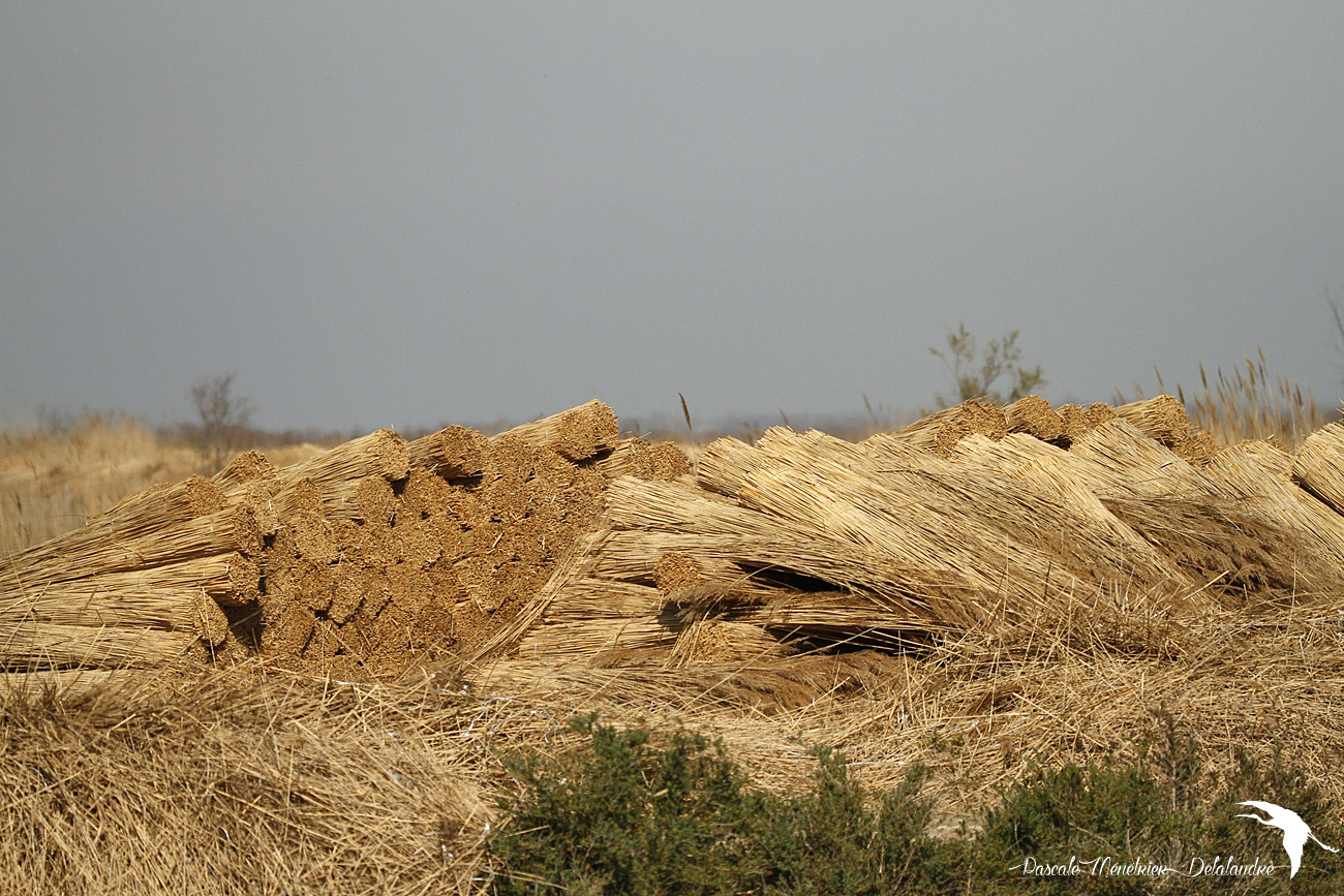 Coupe des joncs en Petite Camargue