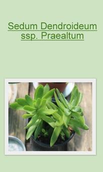 Sedum Dendroideum ssp Praealtum