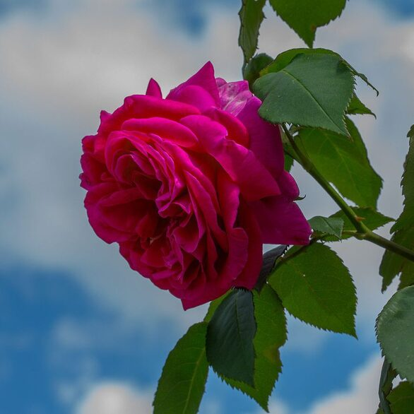 Rose Le Bienheureux de la Salle