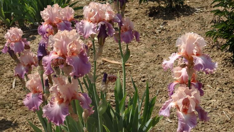 Pivoines et Iris à Annay-sur-Serein