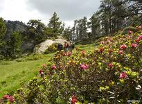 rhododendrons (azalées sauvages en fleur)